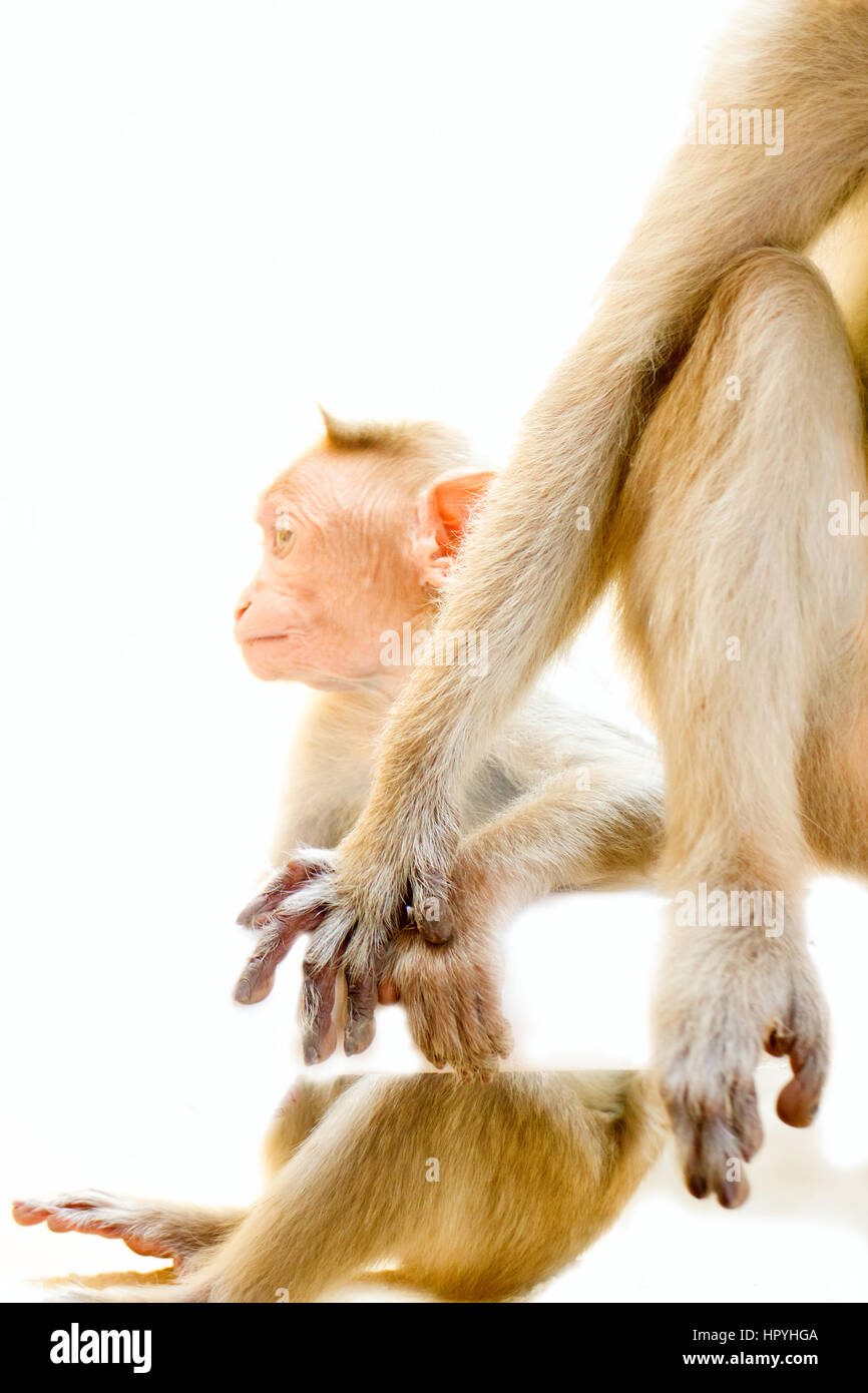 Indian macaques, rhesus monkey (Macaca mulatto). Parental care, fondness. Monkey holds her baby's hand - Stock Image
