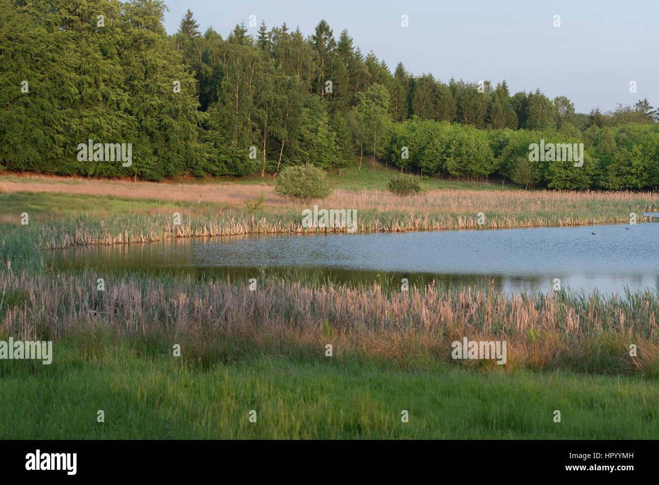 Open water is an important biotope in the forest - Stock Image