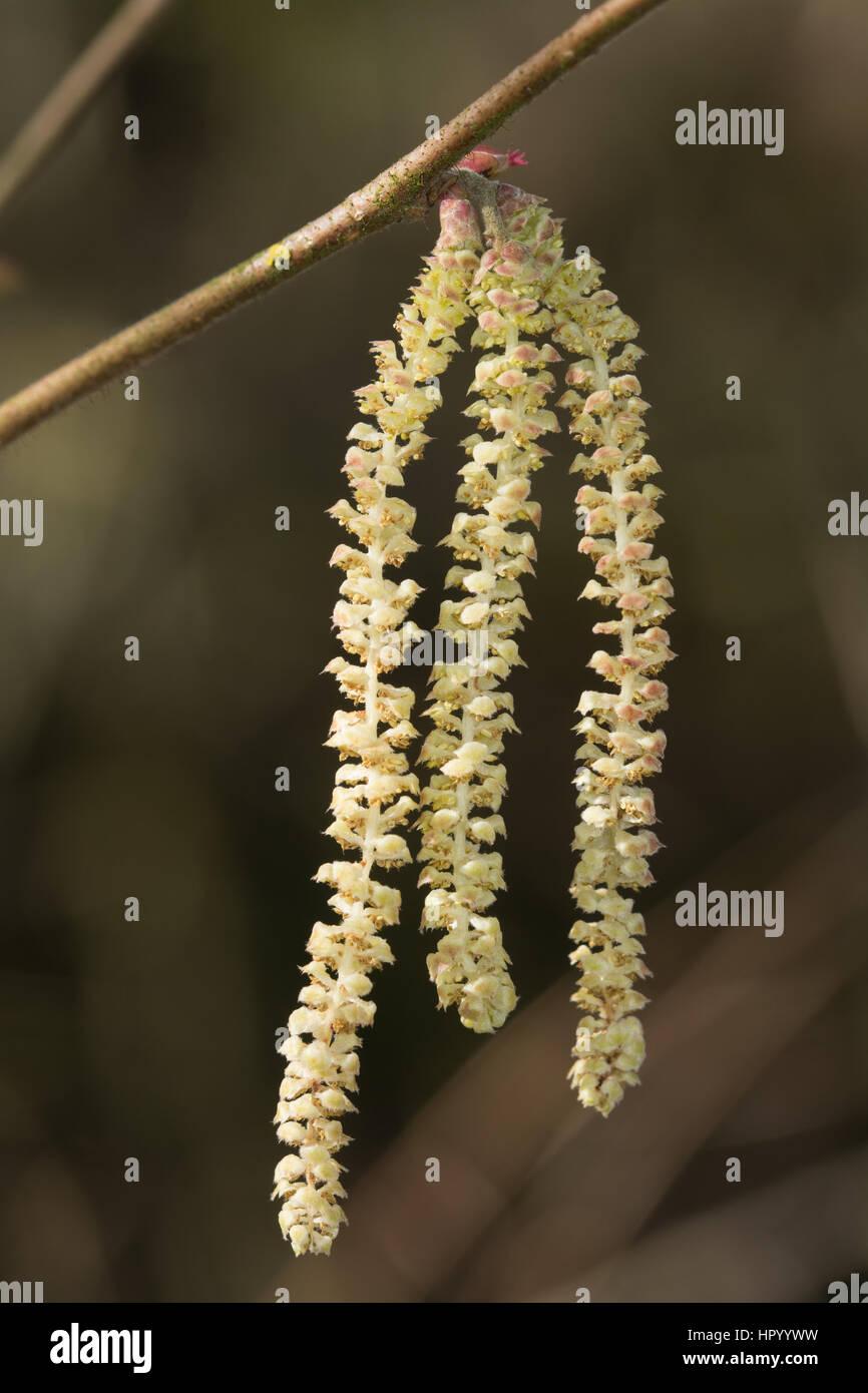 Hazel (Corylus avellana) flowers and catkins - Stock Image