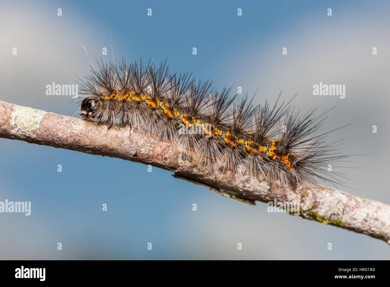 A Salt Marsh Moth (Estigmene acrea) caterpillar (larva) moves along a twig.  Coloration of this caterpillar is highly - Stock Image