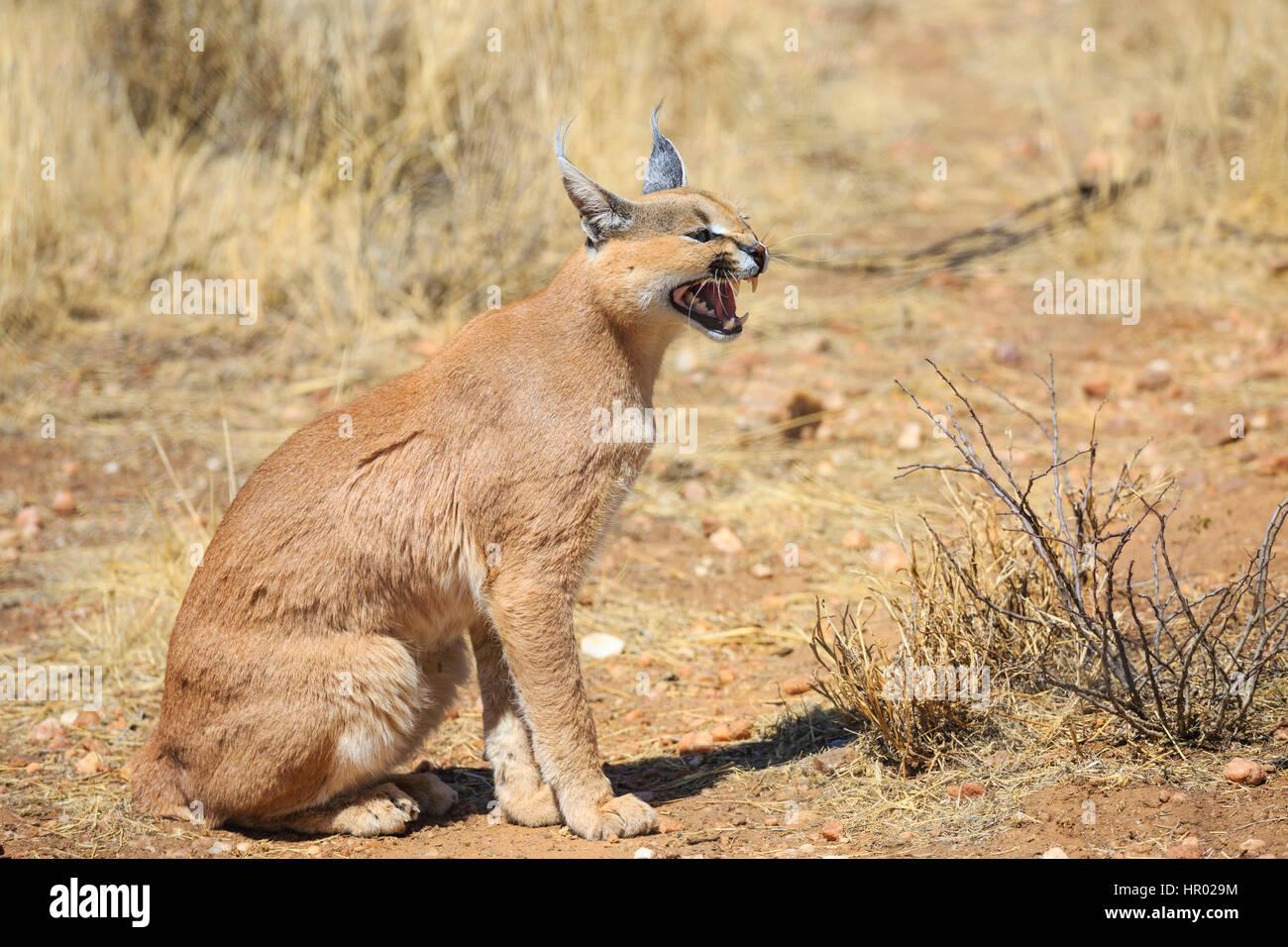 Caracal (Caracal caracal), snarling, captive, Namibia - Stock Image