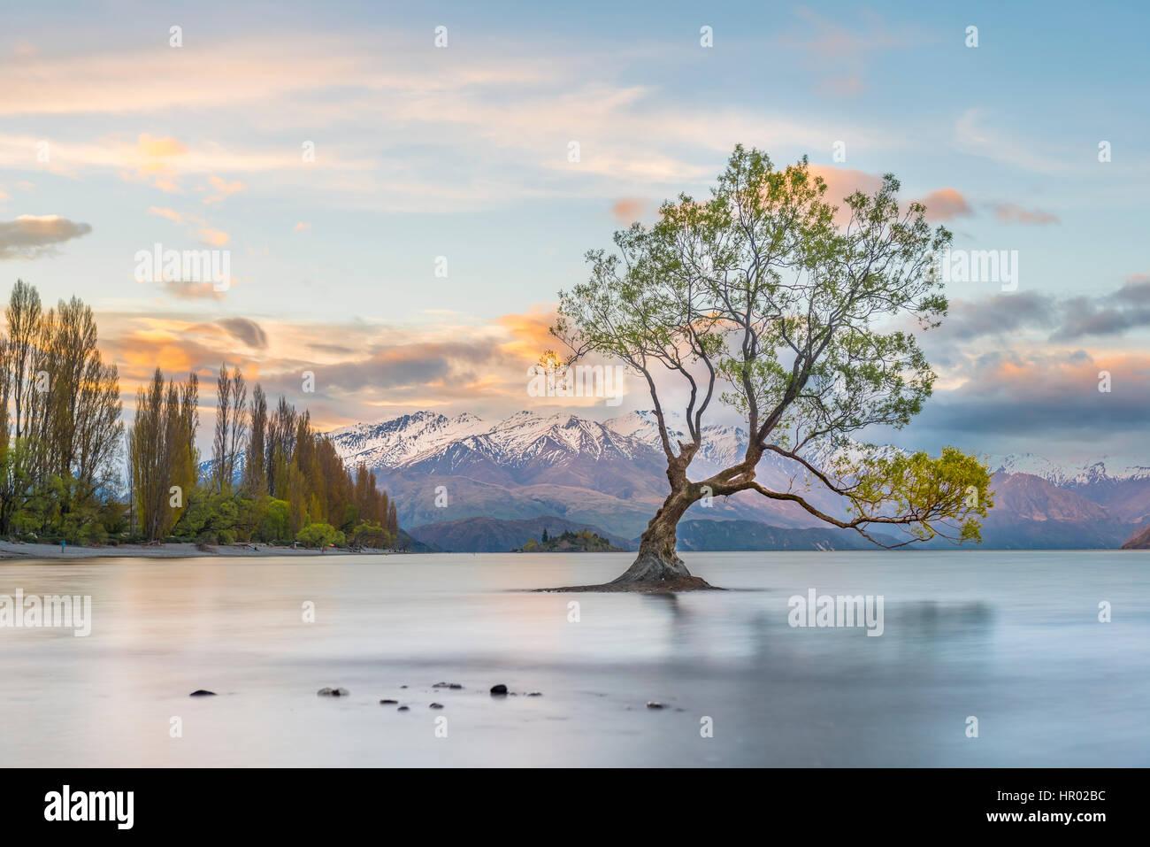Sunrise, single tree standing in water, Lake Wanaka, The Wanaka Tree, Roys Bay, Otago, Southland, New Zealand Stock Photo