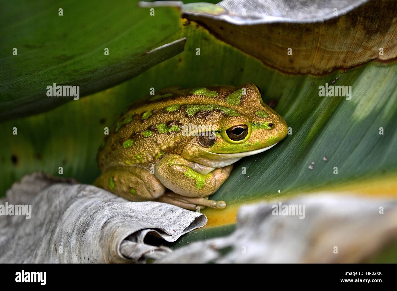 golden and green motorbike frog on a leaf - Stock Image