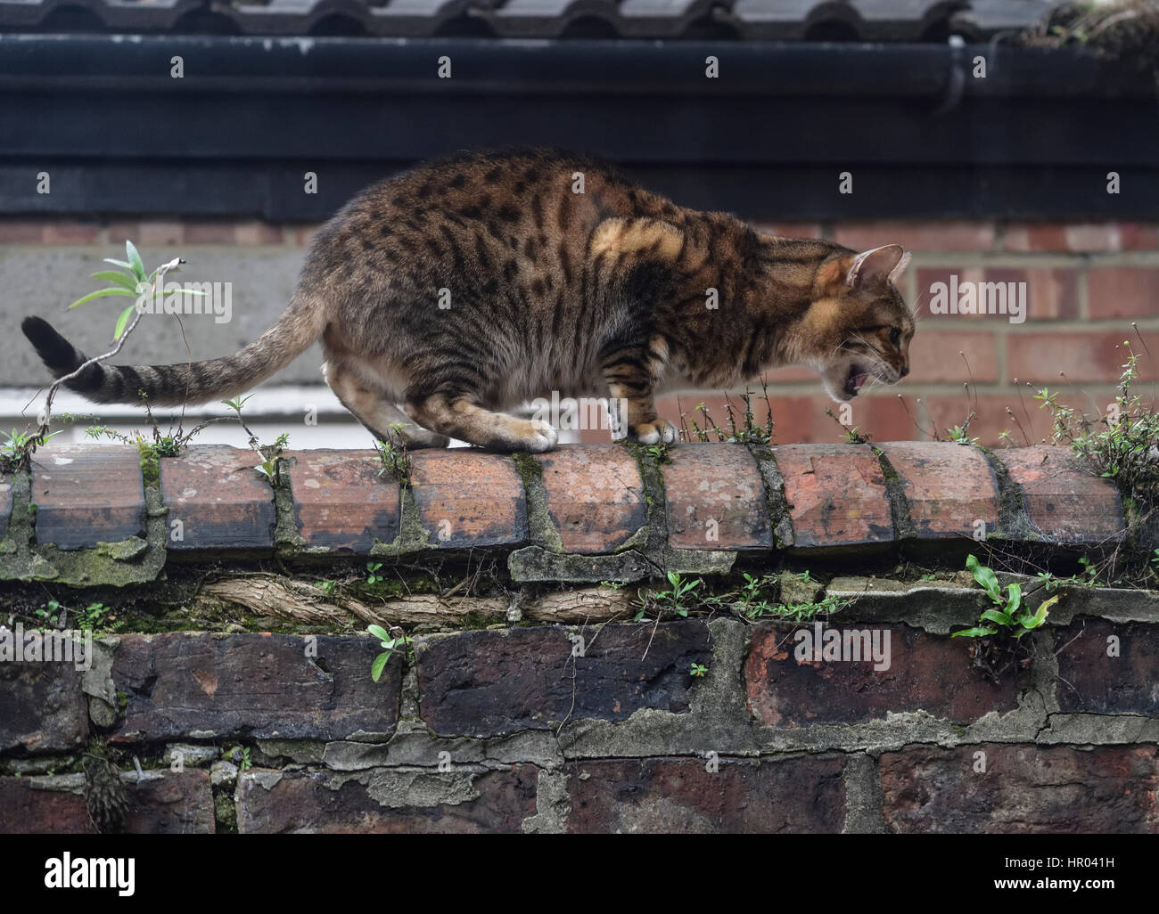 tabby cat on garden wall, looking as if it is stalking its prey - Stock Image