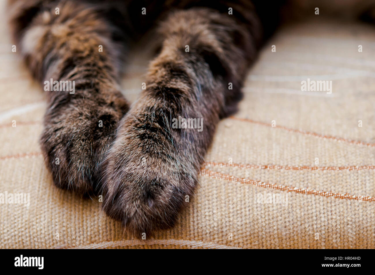 cat paws closeup - Stock Image