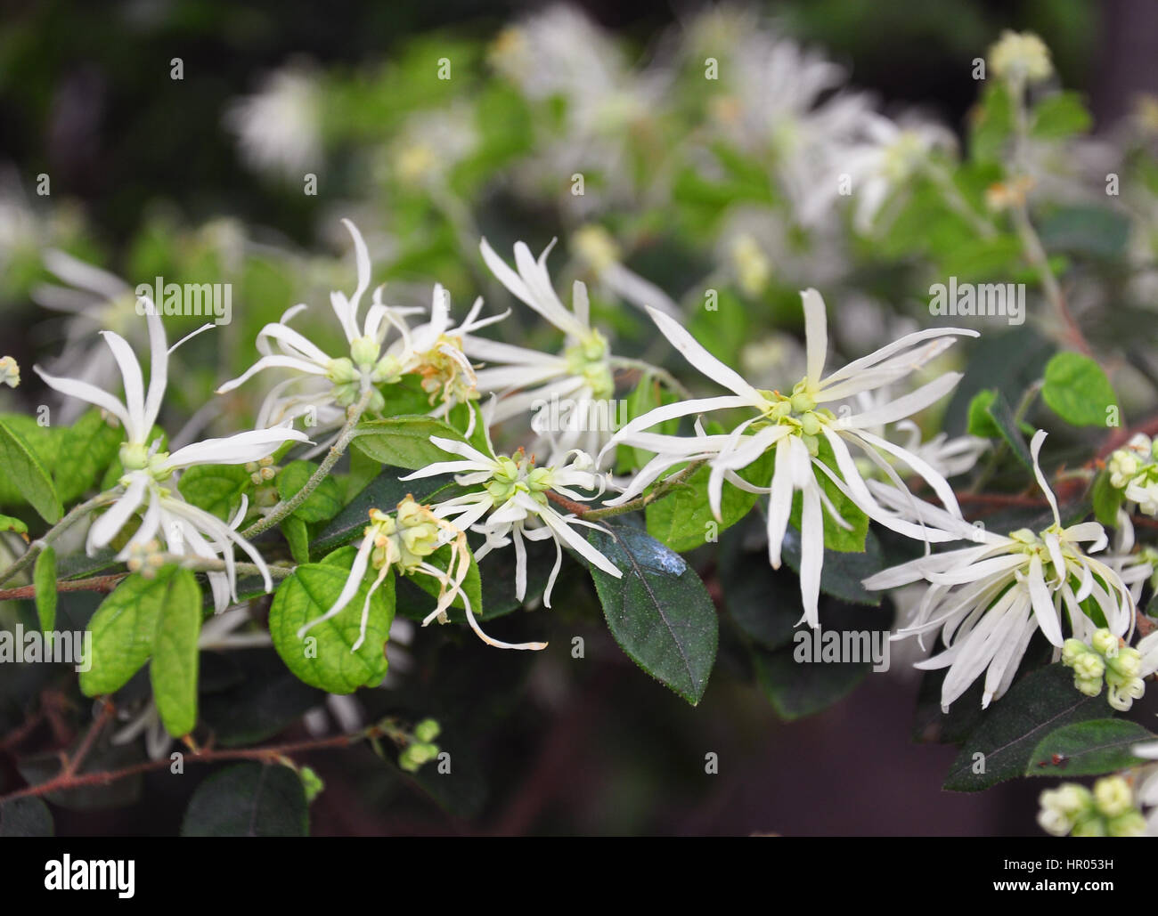 Fringe Flower Loropetalum Chinense Stock Photos Fringe Flower