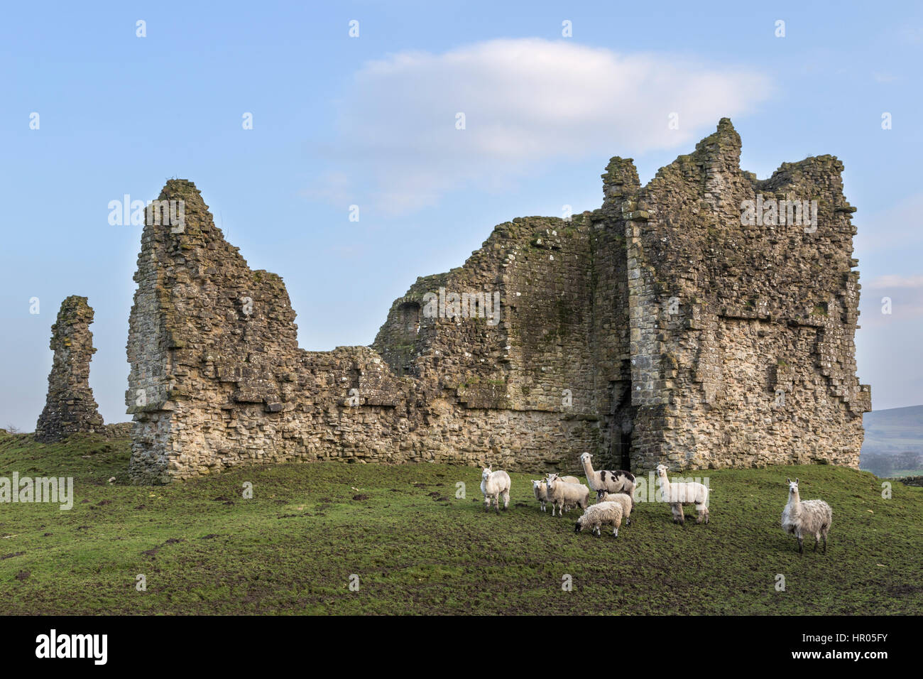 Bewcastle Castle, Cumbria, England - remains of the the west curtain wall and gatehouse. Sheep and alpacas pose - Stock Image