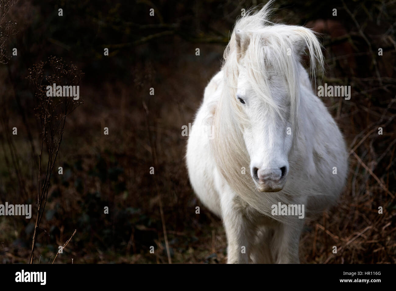 Wild Carneddau Pony with her mane being blowing in the wind from Storm Ewan that hit North Wales - Stock Image