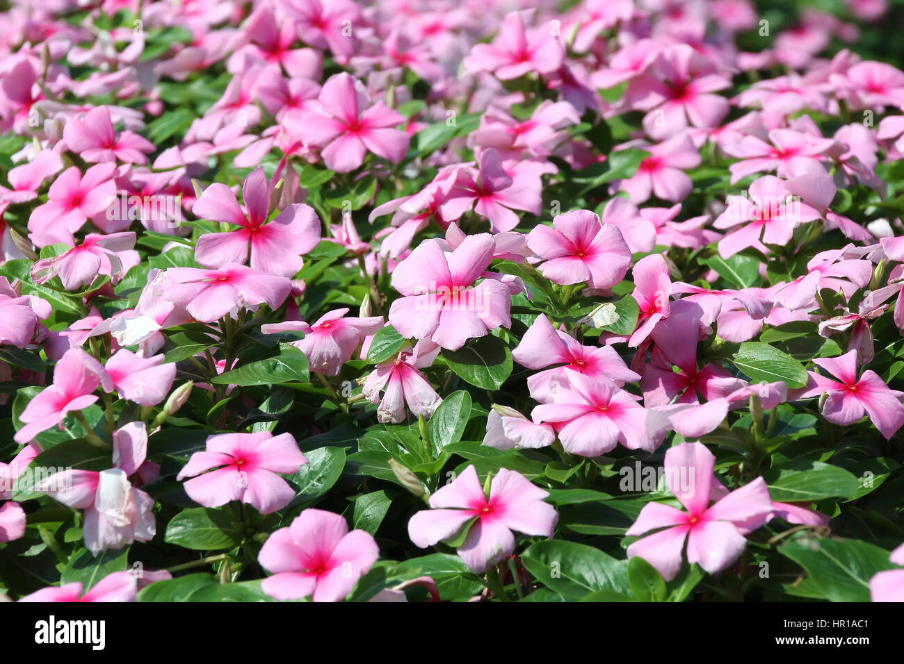 Pink Periwinkle Flower In The Garden Stock Photo 134639793 Alamy