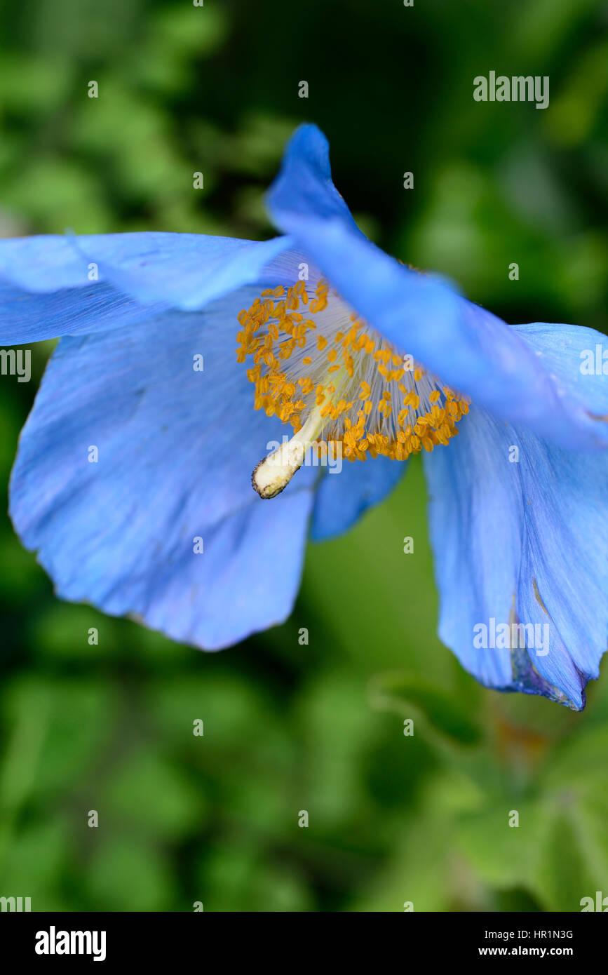 Meconopsis Betonicifolia Blue Poppy Himalayan Blue Poppy Poppies