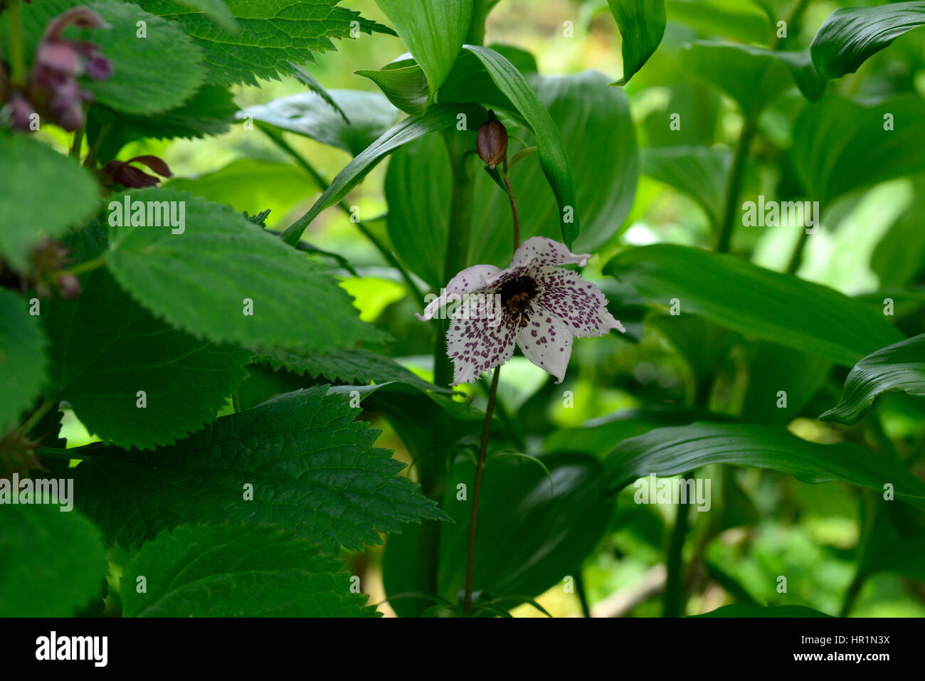 Nomocharis pardanthina pink spotted flower flowers flowering nomocharis pardanthina pink spotted flower flowers flowering wood woodland shade shady shaded lily like perennial bulb bulbs rm floral izmirmasajfo