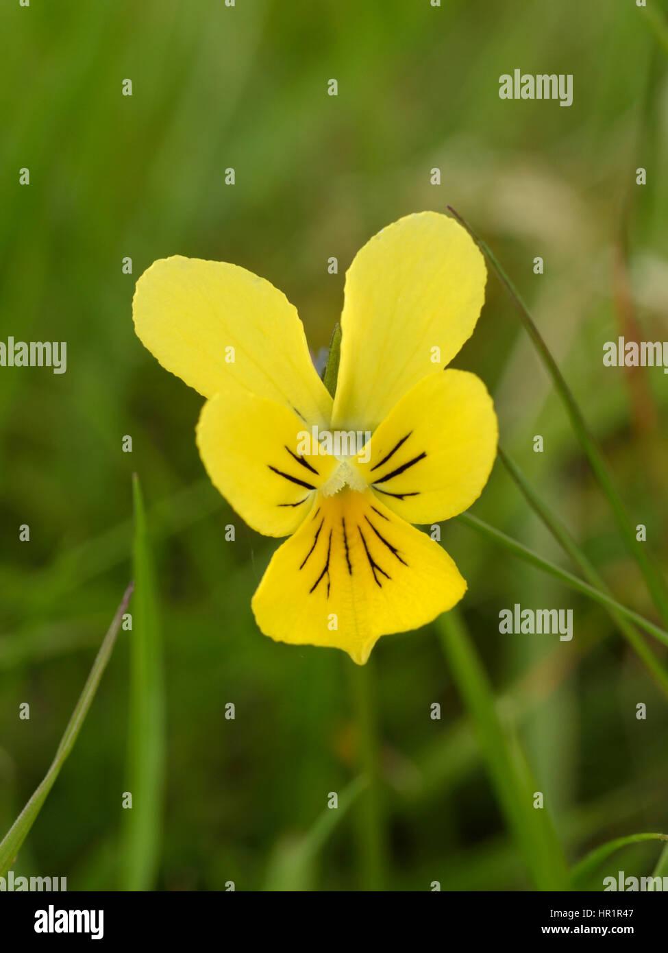Mountain Pansy, Viola lutea on the Epynt - Stock Image