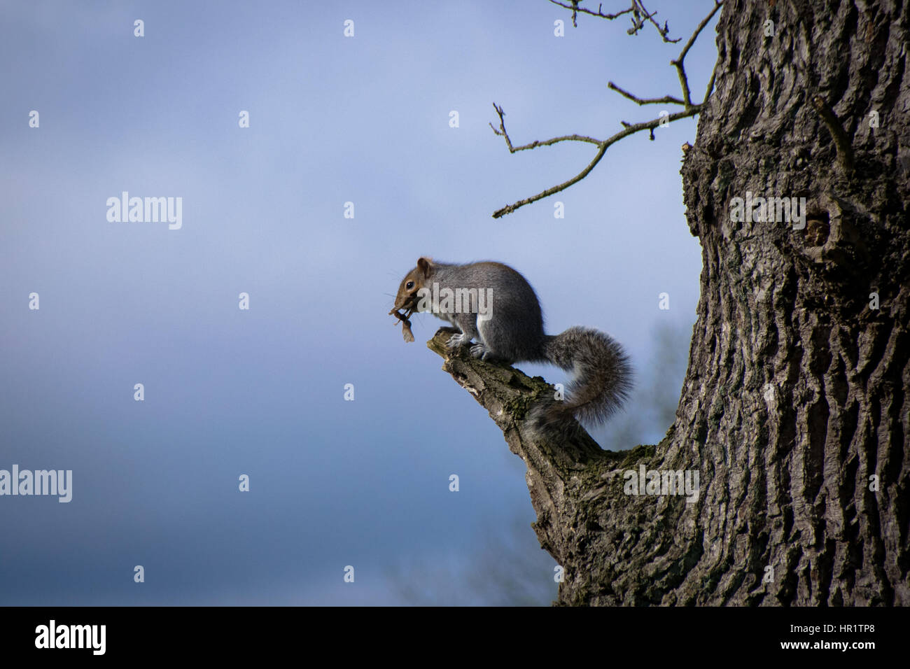 Eastern grey squirrel perched on a tree branch eating sycamore seed pods Stock Photo