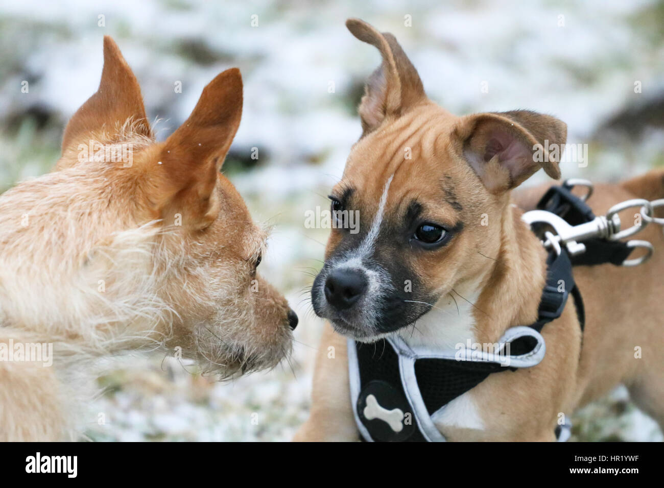 Jug Jack Russell Cross Pug Puppy On First Walk Making Friends With