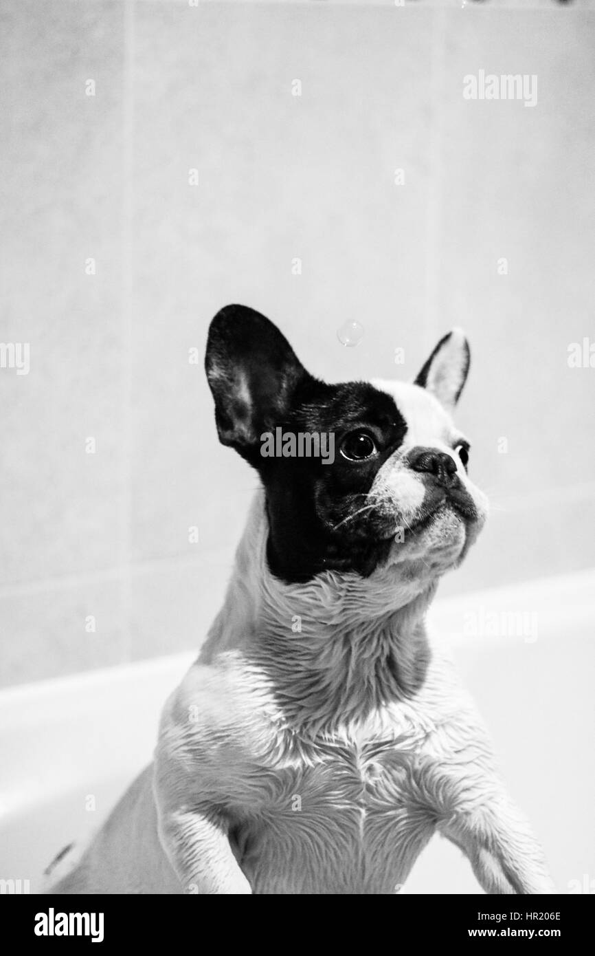 Black and White French Bulldog playing with bubbles in the bath - Stock Image