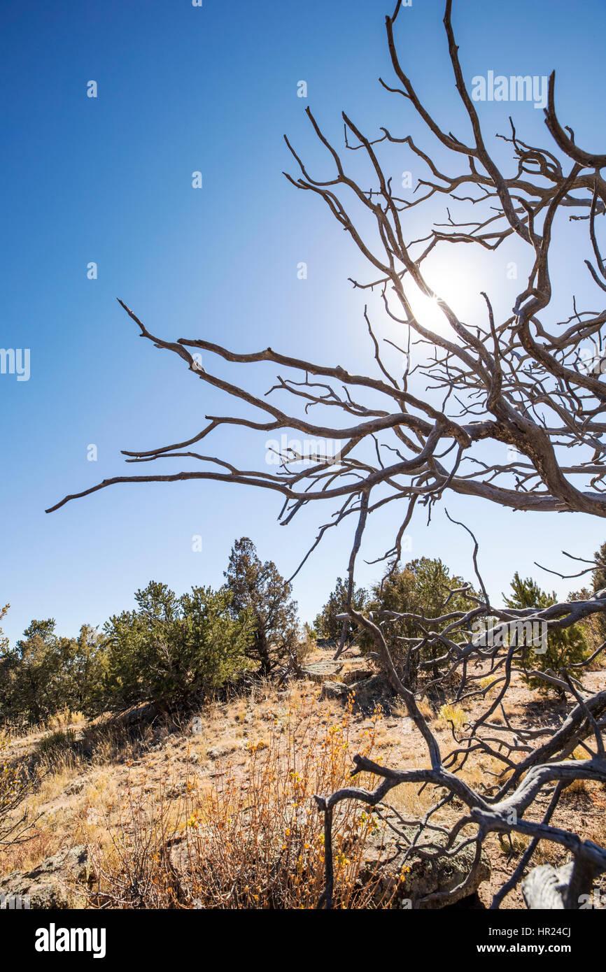 Dead Piñon pine tree silhouetted against blue sky; Pinus monophylla; Pinus edulis; Penitente Canyon; Colorado; - Stock Image