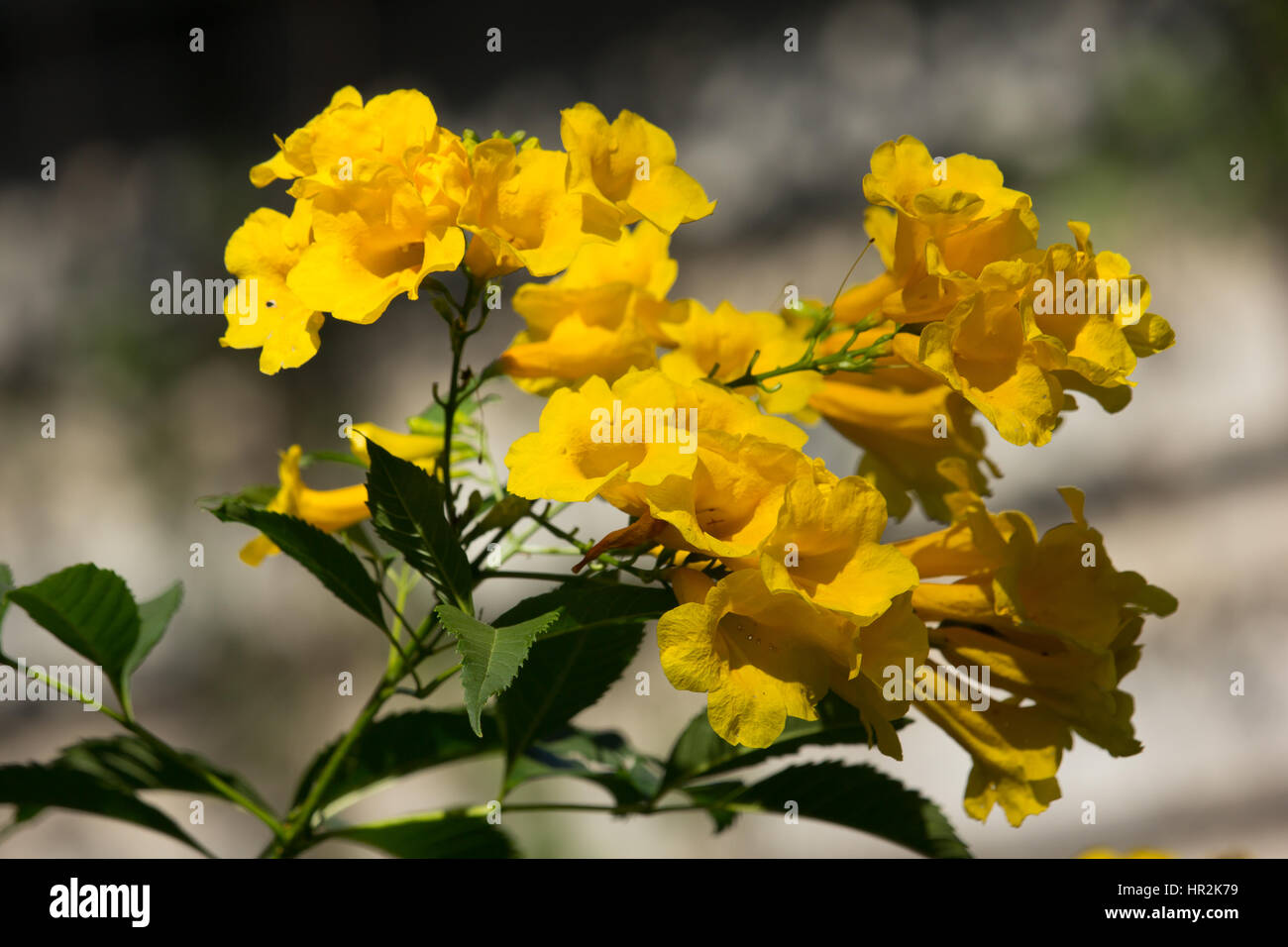 Close Up Of Yellow Flower Yellow Elder Yellow Bells Or Stock
