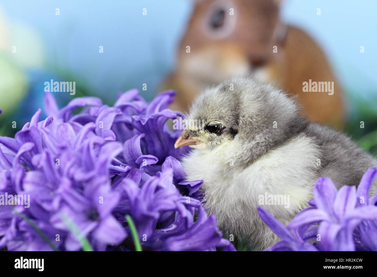 Little Blue Cohin chick in the middle of spring flowers. Extreme shallow depth of field with some blur and selective Stock Photo