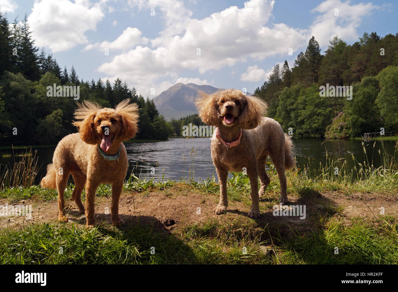 Red and Brown Toy Miniature Poodles Out Adventuring and Exploring at Glencoe Lochan with Glencoe in background - Stock Image