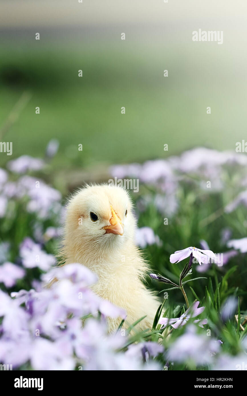 Curious little chick peeking above a bed of lavendar colored spring flowers. Extreme shallow depth of field with - Stock Image