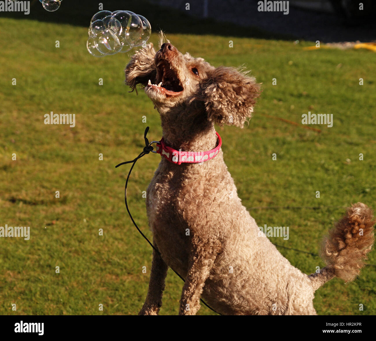 Poodles Out Adventuring and Exploring - Stock Image