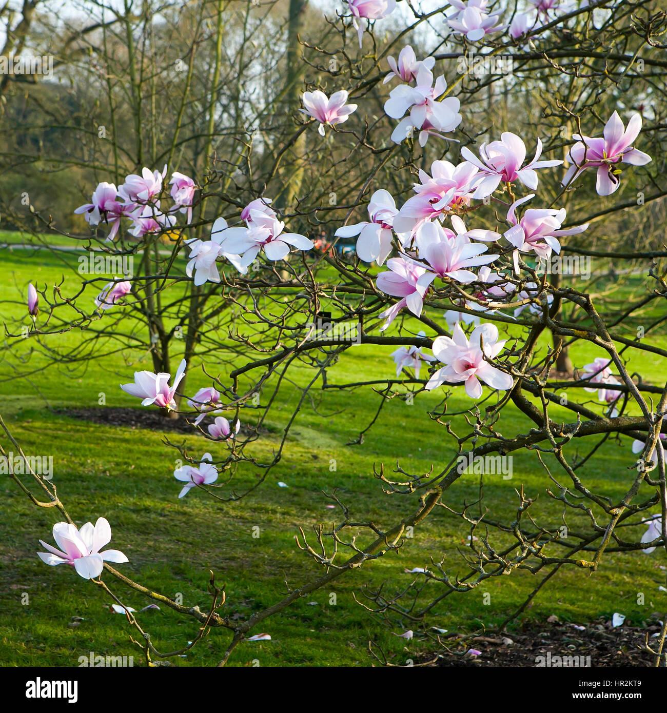 Magnolia Loebneri Stock Photos Magnolia Loebneri Stock Images
