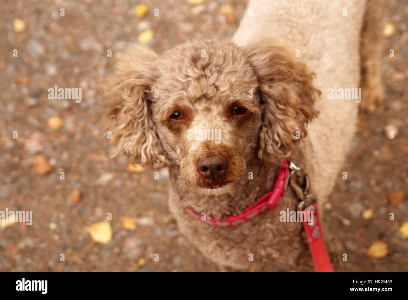 Cute Poodle Looking at the Camera - Stock Image