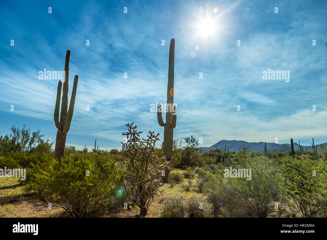 Saguaro National Park in southern Arizona is part of the National Park System in the United States. The park preserves Stock Photo