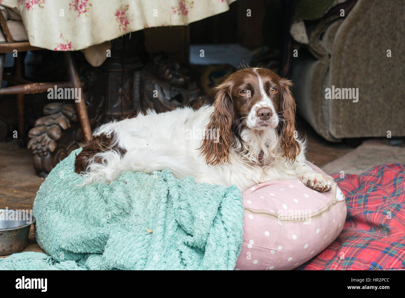 A female brown and white springer spaniel sitting on a beanbag in a kitchen in the UK - Stock Image