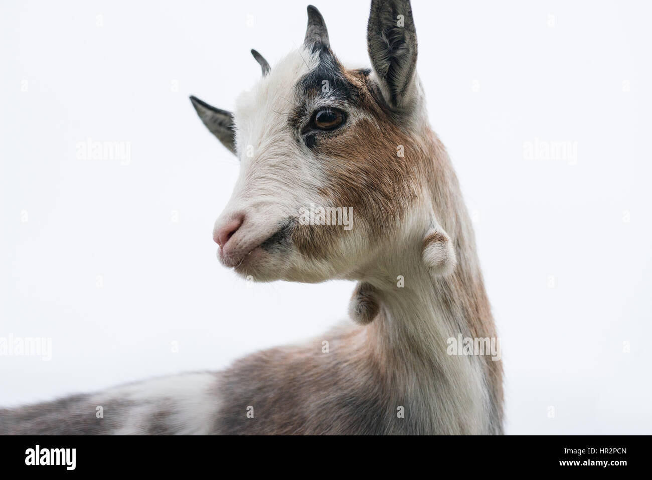 Close up of the face of a brown and white pygmy goat - Stock Image