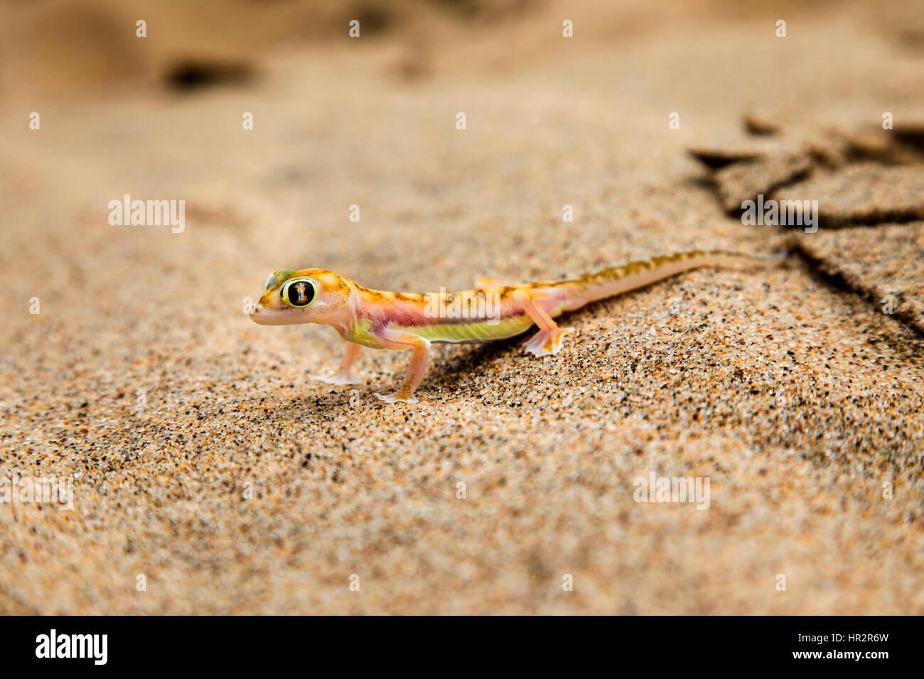 Namib Sand Gecko, Web-footed Gecko, Pachydactylus rangei, Walvis Bay, Namib desert, Namibia, by Monika Hrdinova/Dembinsky Stock Photo