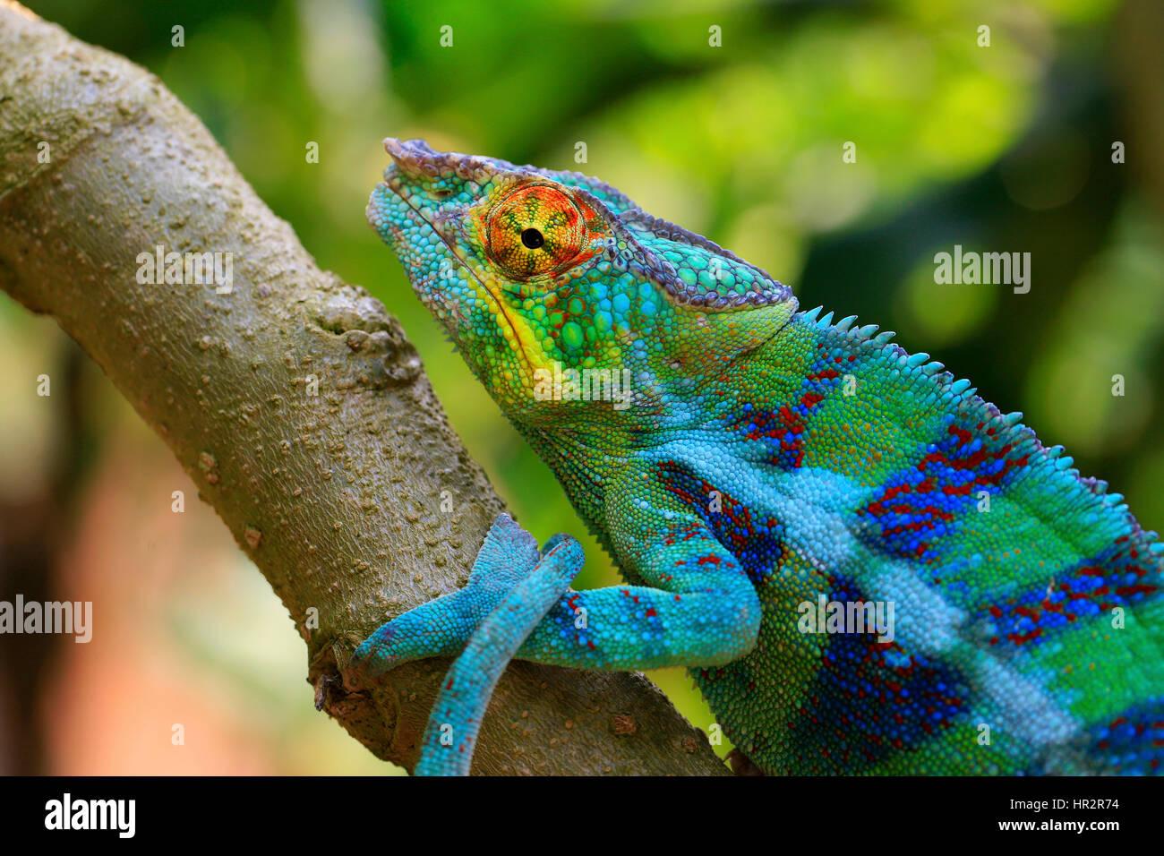 Panther Chameleon, Furcifer pardalis, Peyreiras Reptile Park, MadagascarStock Photo