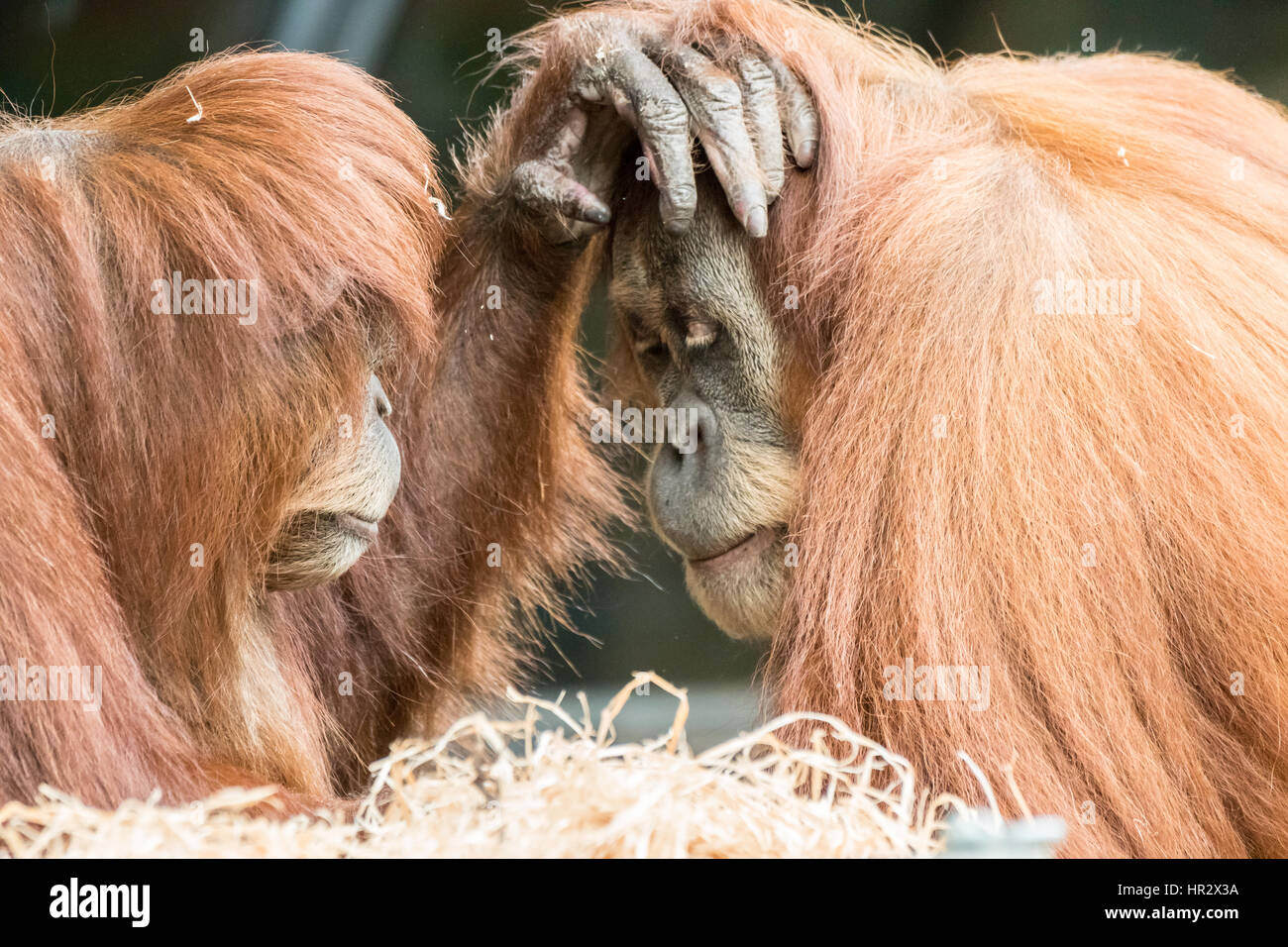 Two orangutans are caught in an intimate moment where they are gently touching each others faces in a comforting - Stock Image