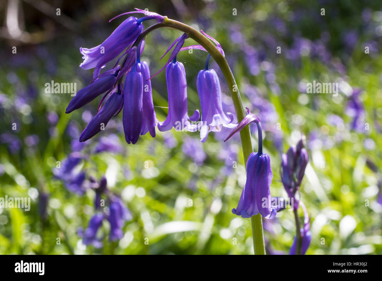 Close up Detail of a Single Bluebell Flower (Hyacinthoides non-scripta) Amongst a Large Cluster in a North Devon - Stock Image