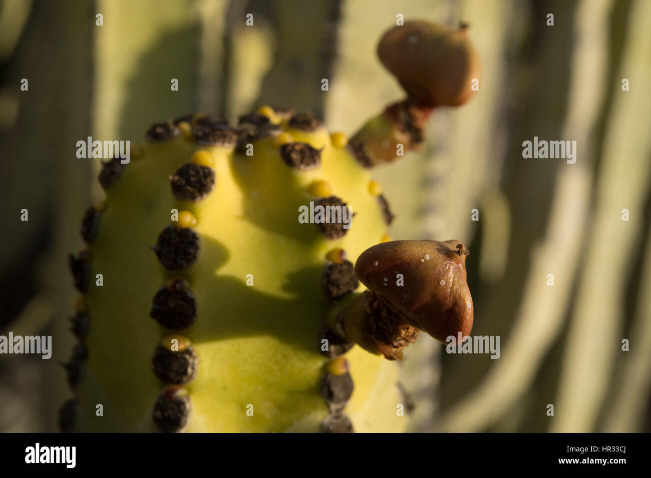 Canarie Spurge, Euphorbia canariensis, Euphorbiaceae, Tenerife South, Canarian Islands, Spain, Europe - Stock Image
