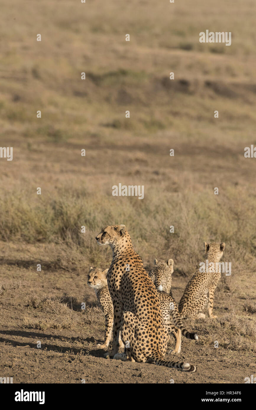 Cheetah mother and four cubs walking - Stock Image