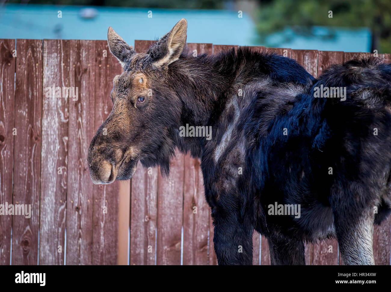 A young moose is found wandering around a town in north Idaho. - Stock Image