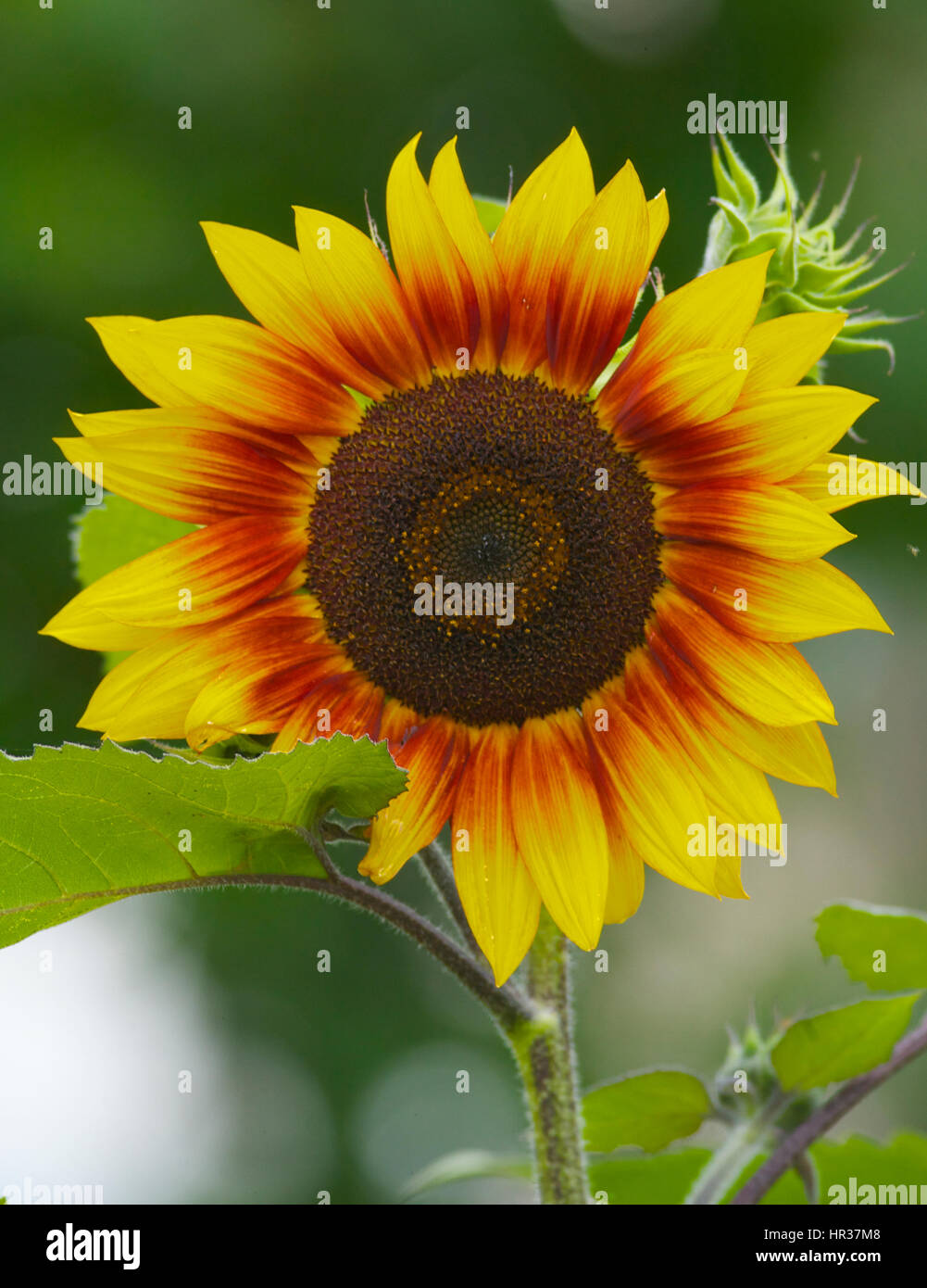 Sunflower and green plants in background from Far Eastern Russia - Stock Image