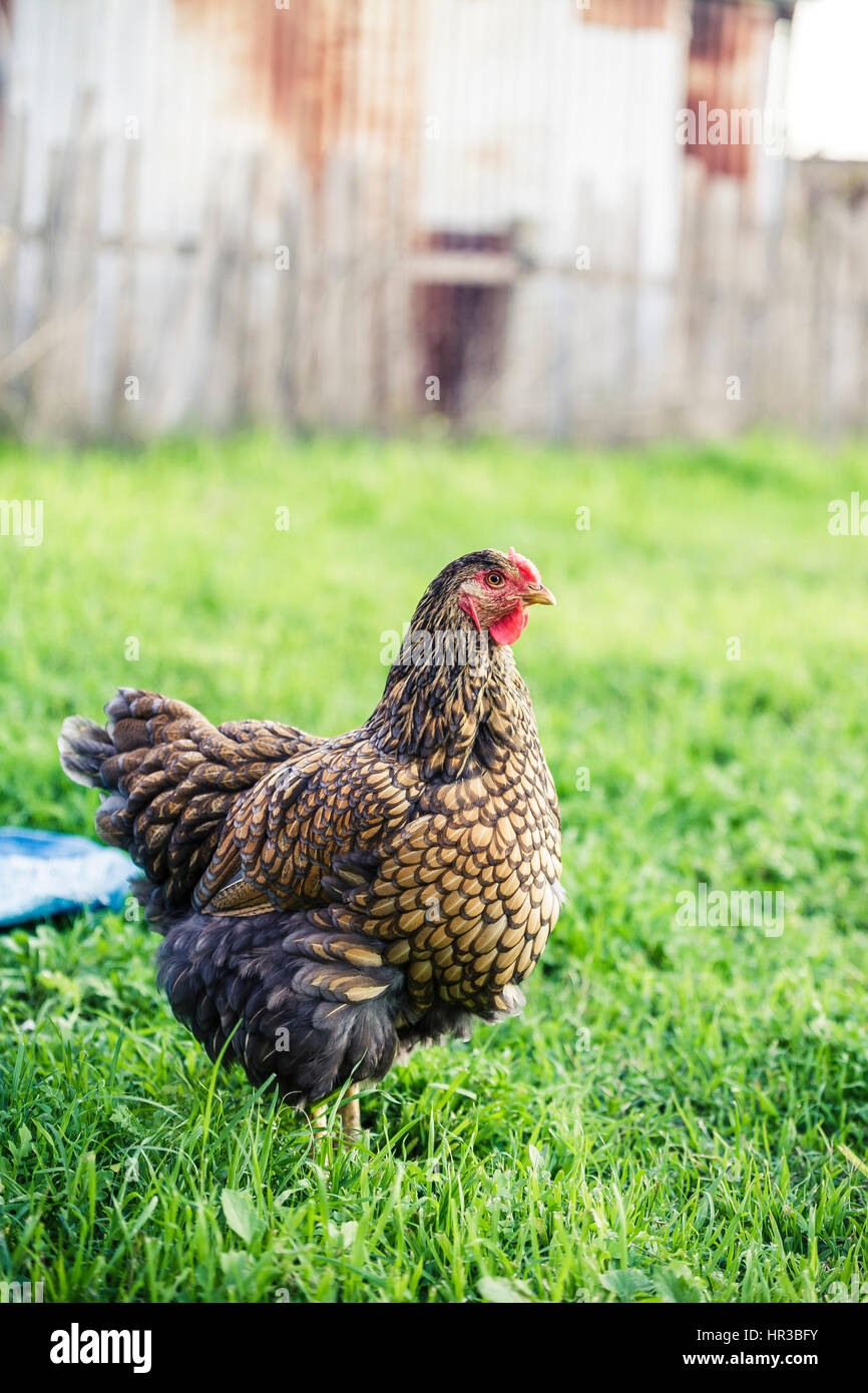 Chicken in the backyard - Stock Image