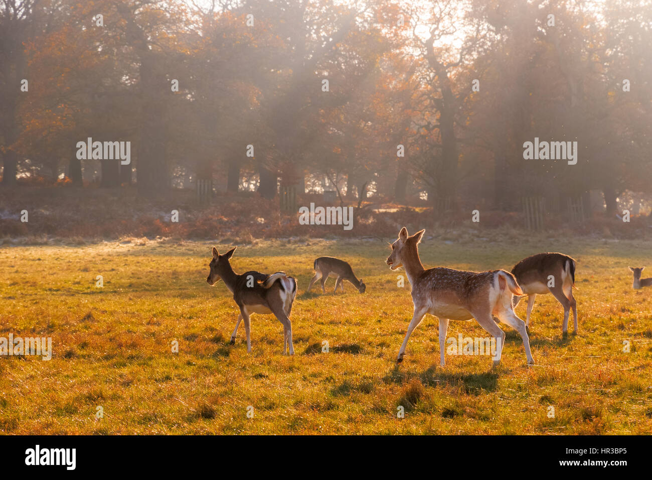 Fallow deer in Richmond Park, London - Stock Image