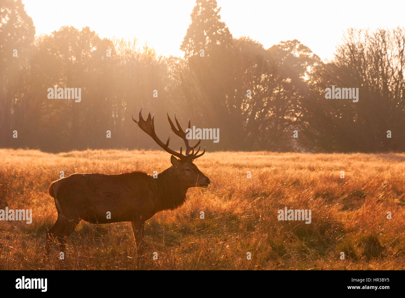 Red deer in Richmond Park, London - Stock Image