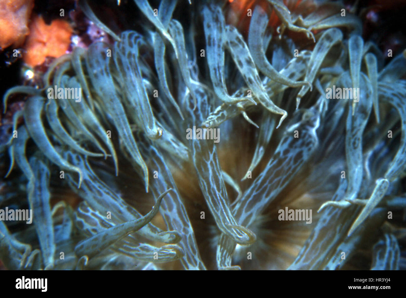 Beautiful Sea anemone - Stock Image