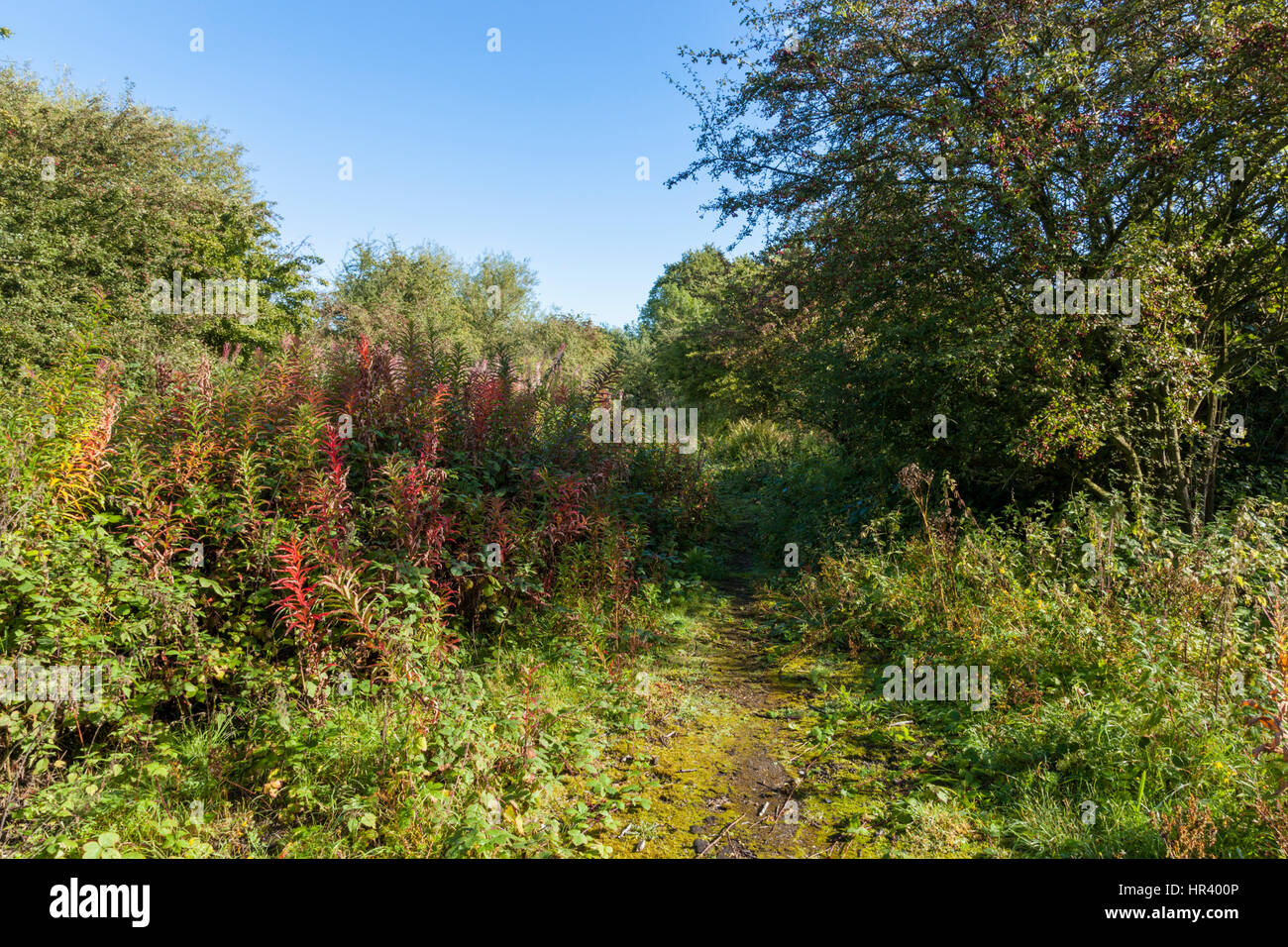 Overgrown path through bushes and trees on wasteland, Nottinghamshire, England, UK - Stock Image