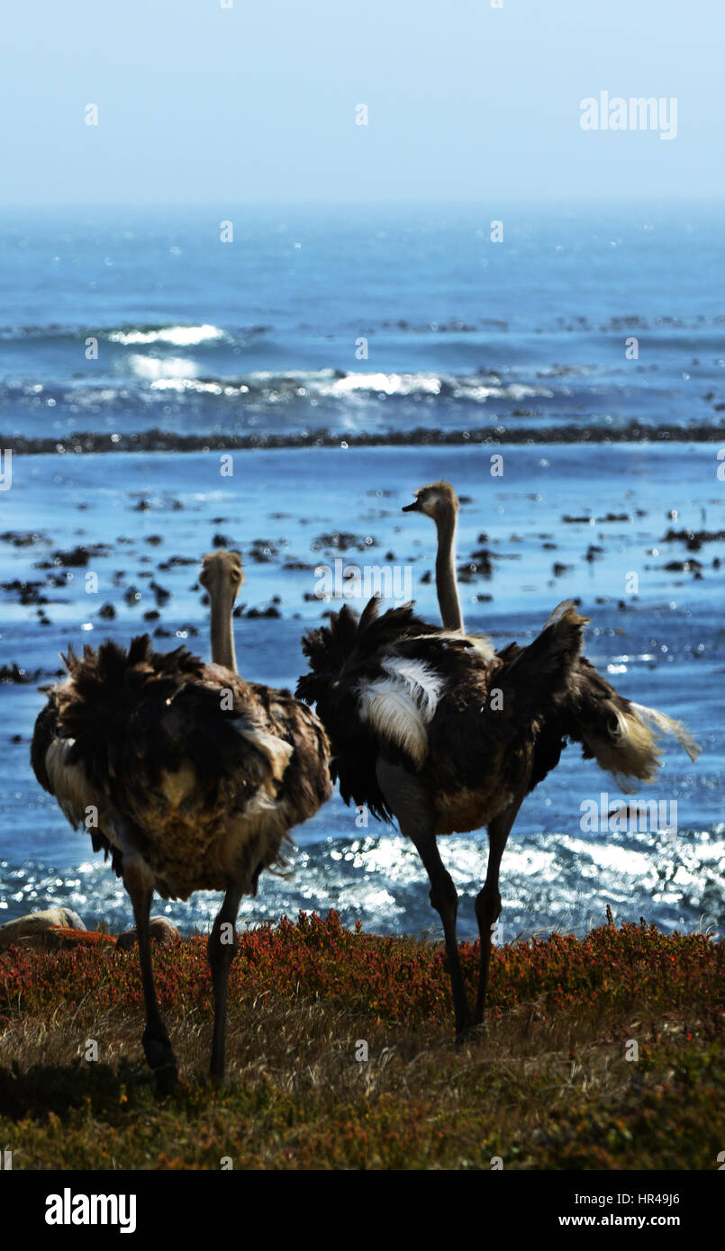 African Ostriches (Struthio camelus) foraging next to beach near Cape of Good Hope, Western Cape, South Africa - Stock Image
