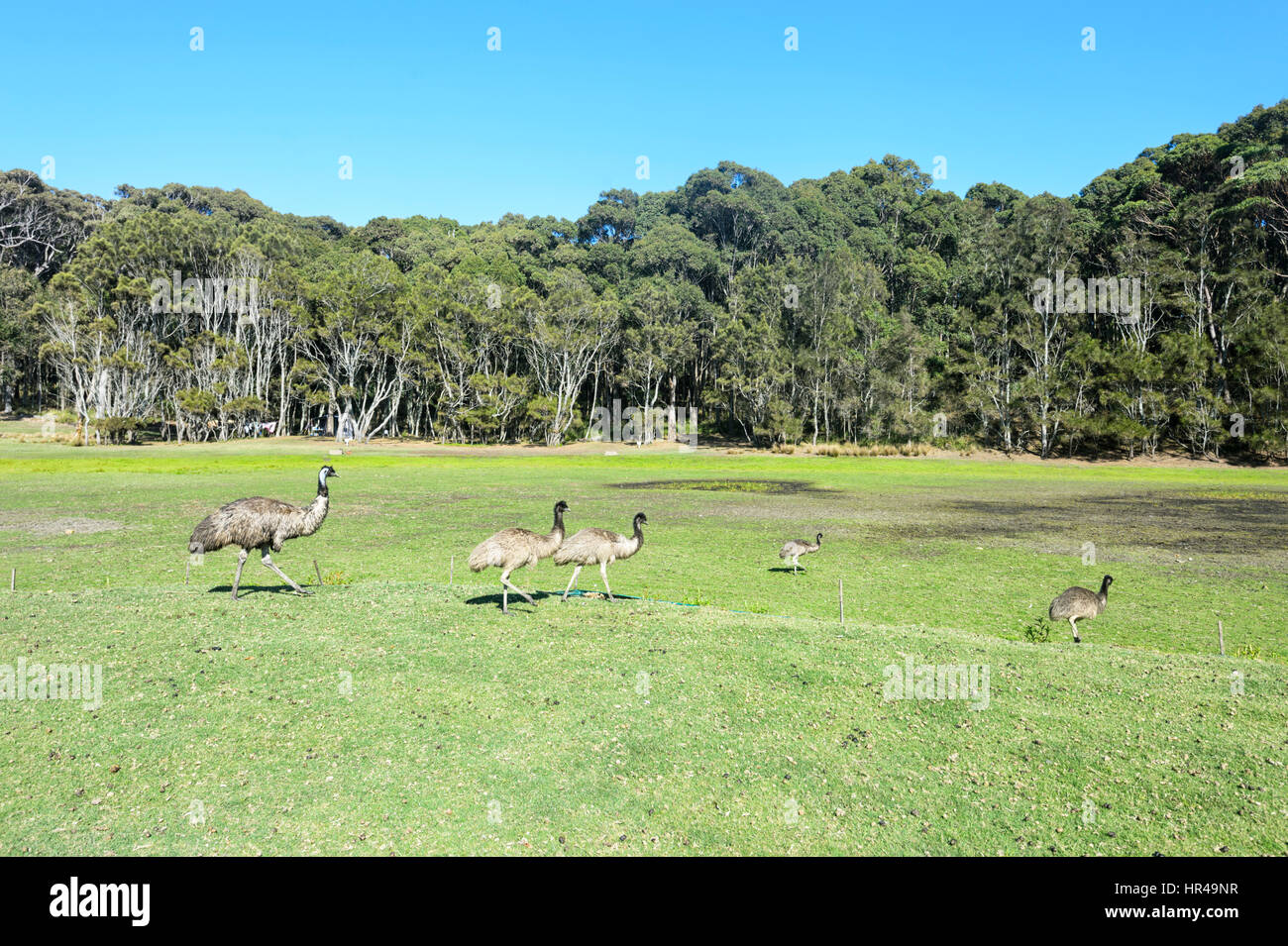 Dad emu (Dromaius novaehollandiae) with four young in a clearing, Potato Point, New South Wales, NSW, Australia - Stock Image