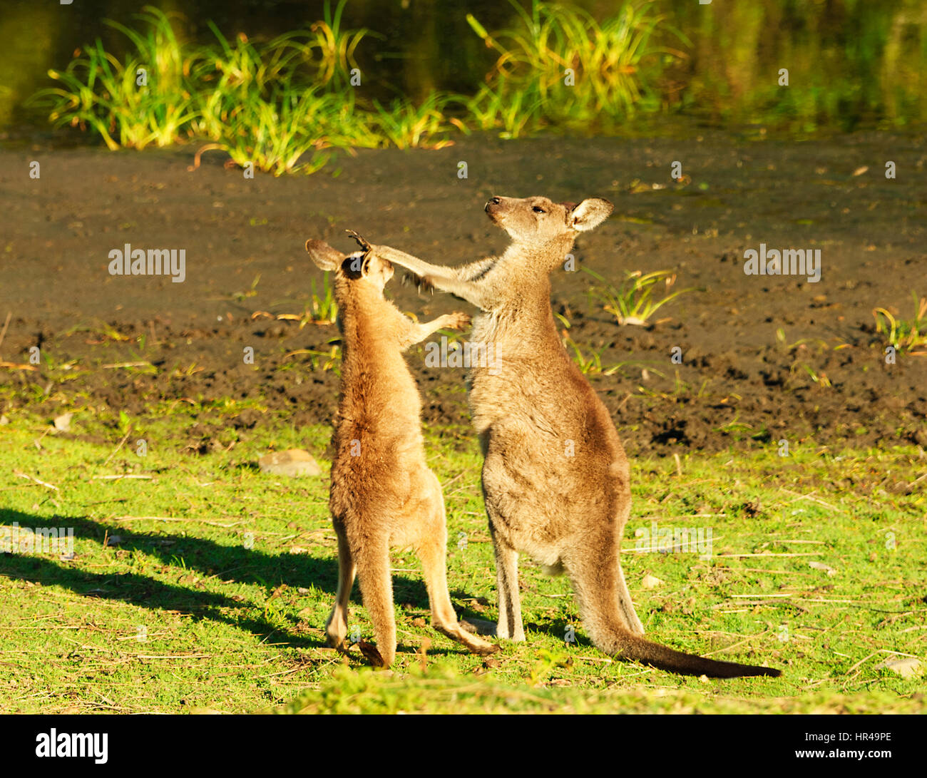 Two Red-necked Wallabies (Macropus rufogriseus) play-fighting, Potato Point, New South Wales, Australia - Stock Image