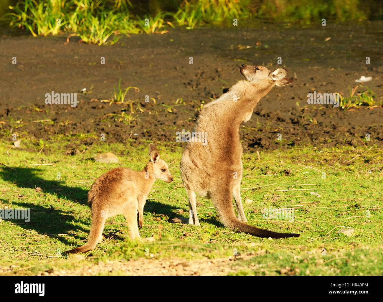 Two Red-necked Wallabies (Macropus rufogriseus), the tallest one scratching itself, Potato Point, New South Wales, - Stock Image