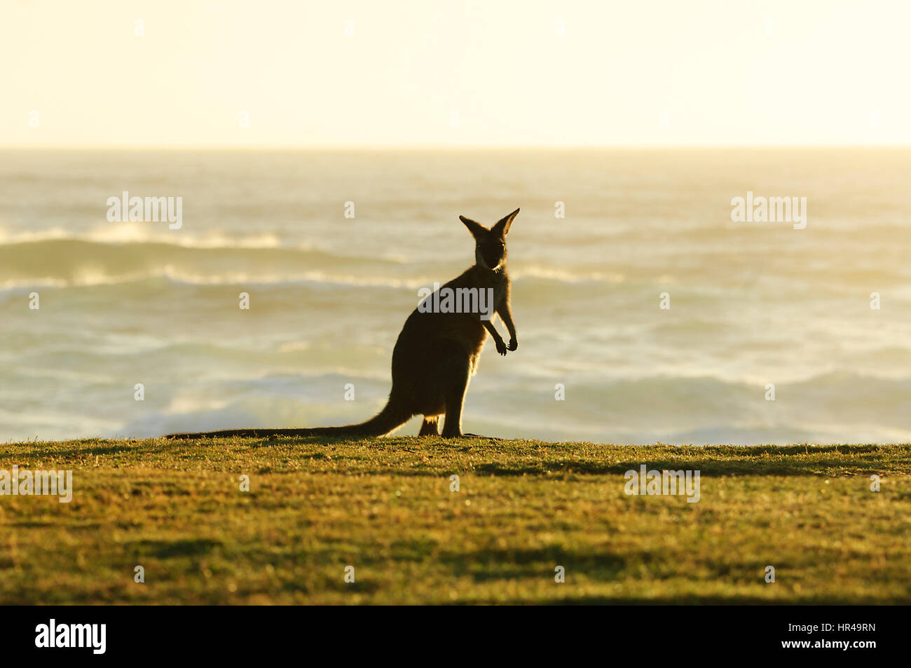 Red-necked Wallaby (Macropus rufogriseus) standing up on the beach in the morning light in front of the sea, Potato - Stock Image