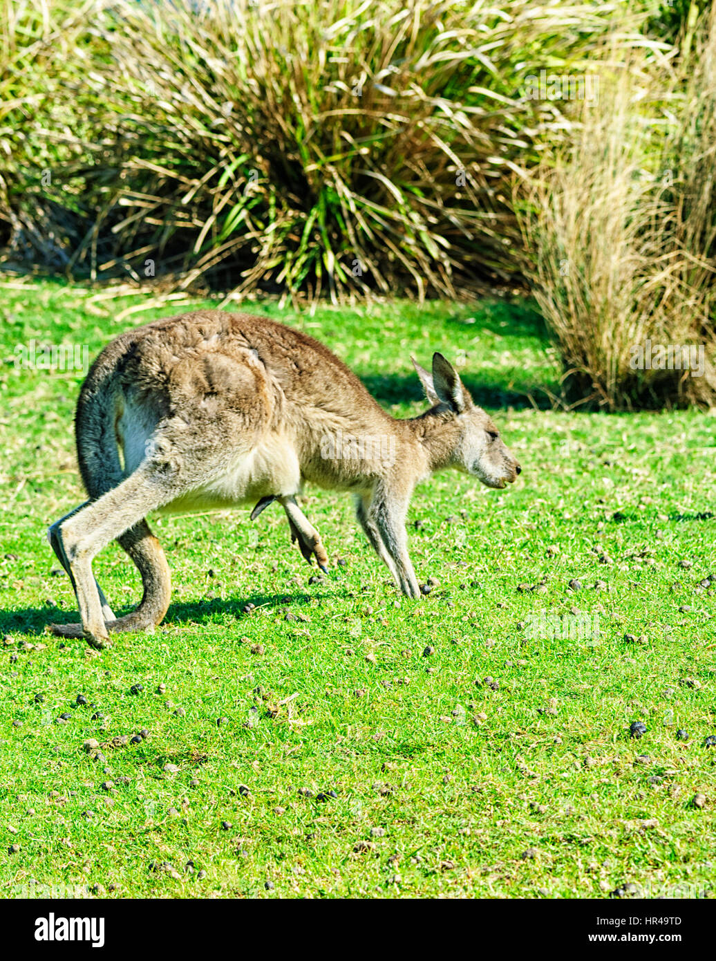 Eastern Grey Kangaroo (Macropus giganteus)  with joey's leg sticking out of the pouch, Potato Point, New South - Stock Image
