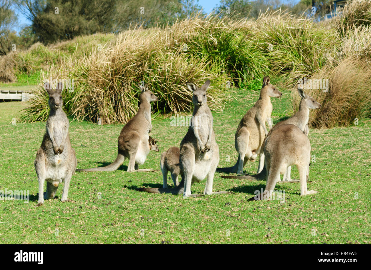 Groups of Eastern Grey Kangaroos (Macropus giganteus), Potato Point, New South Wales, Australia - Stock Image